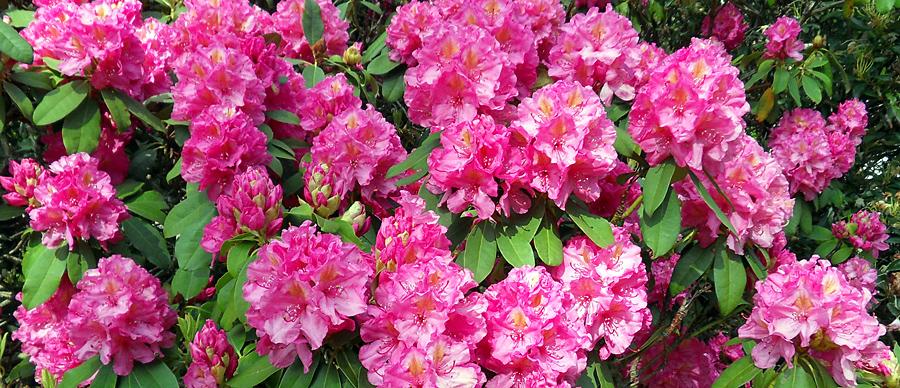 Rhododendron_blommor_900x388.jpg