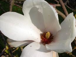 magnoliablomma_582x388