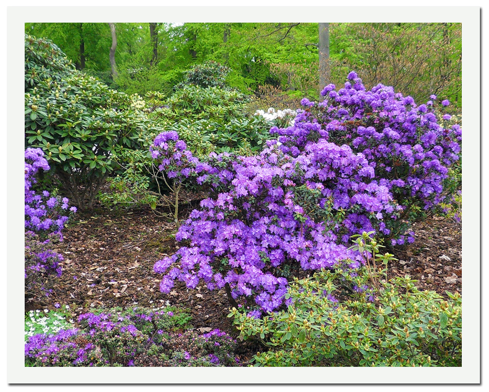 rhododendron_lila_1024x808