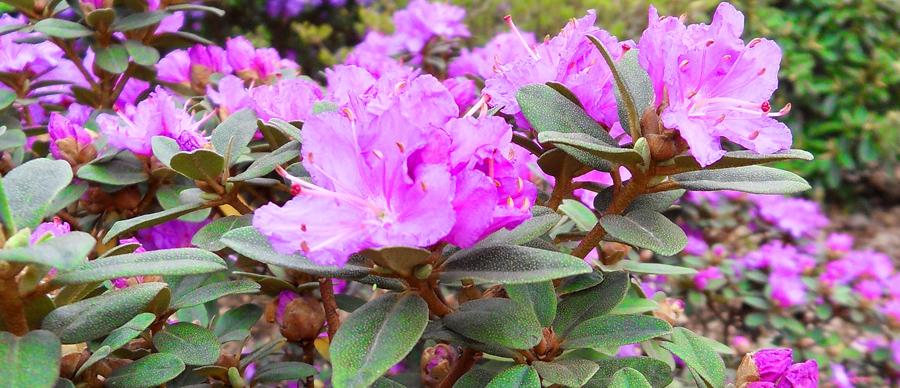rhododendron_morkrosa_900x388.jpg