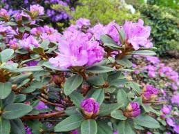 rhododendron_rosa_matta_1024x1239.jpg