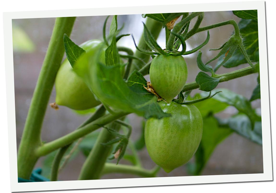 tomater_hoger_1024x683