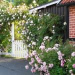 i Trädgården - klätterros på pergola vid entrén, staket