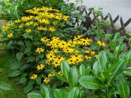 i trädgården - strålrudbeckia, gul, perenn itradgarden.se