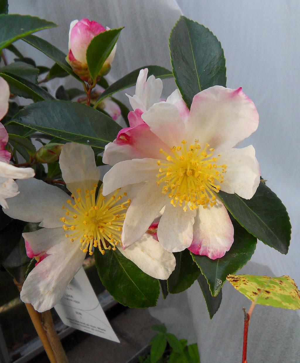 kamelia_blomma_1024x1239.jpgkamelia_blomma_1024x1239.jpg