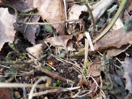 i trädgården - nyckelpiga bland torra löv om våren itradgarden.se