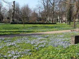 i trädgården- scillor, blå, vårblommor, Malmö gamla kyrkogård itradgarden.se