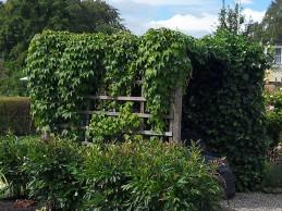 i trädgården - vildvin, skydd soptunnor itradgarden.se