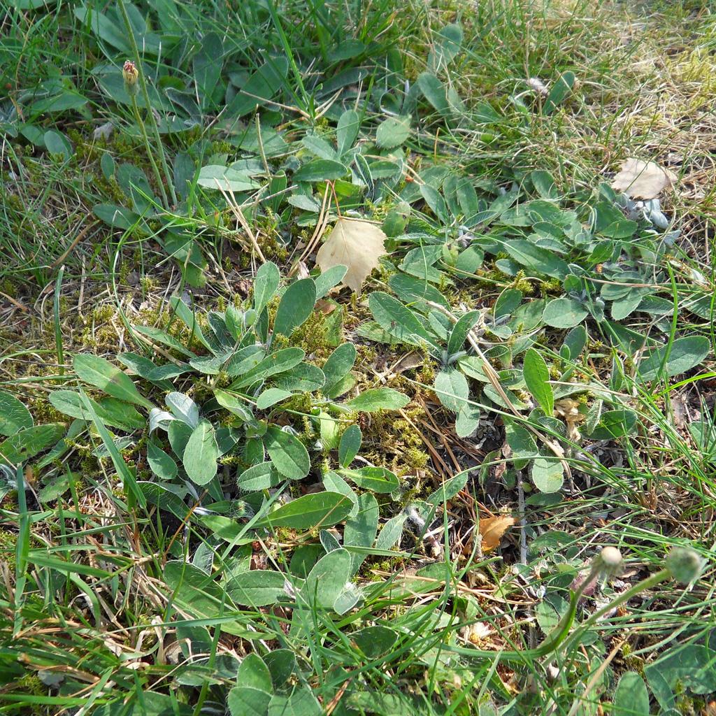 i Trädgården - gråfibbla, ogräs i trädgården, vilda växter