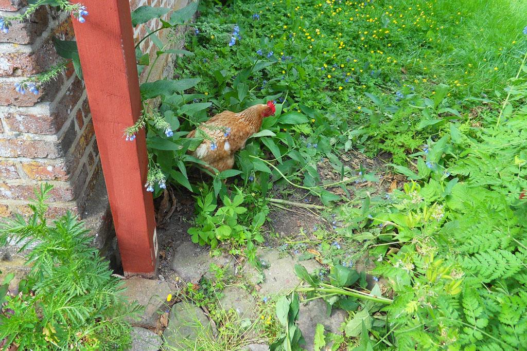 i Trädgården - höns i tätbebyggt område, tillstånd, kommun