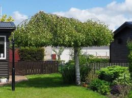 i Trädgården - björk klippt som parasoll, beskära, hängbjörk