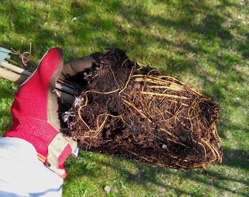 i trädgården - friska rötter på växter, rotklump, planta, plantera
