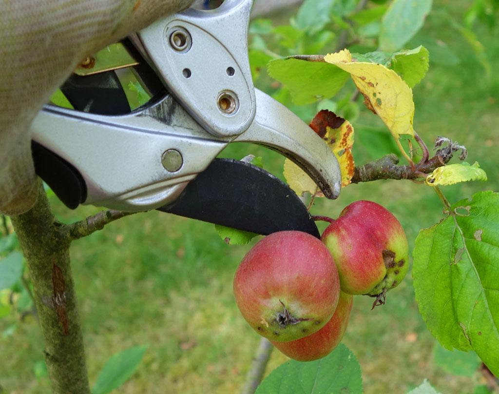 i Trädgården - beskära träd, plocka bort skadade frukter, gallra, kart