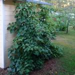 i Trädgården - beskär klätterhortensia på hösten, JAS, blomning