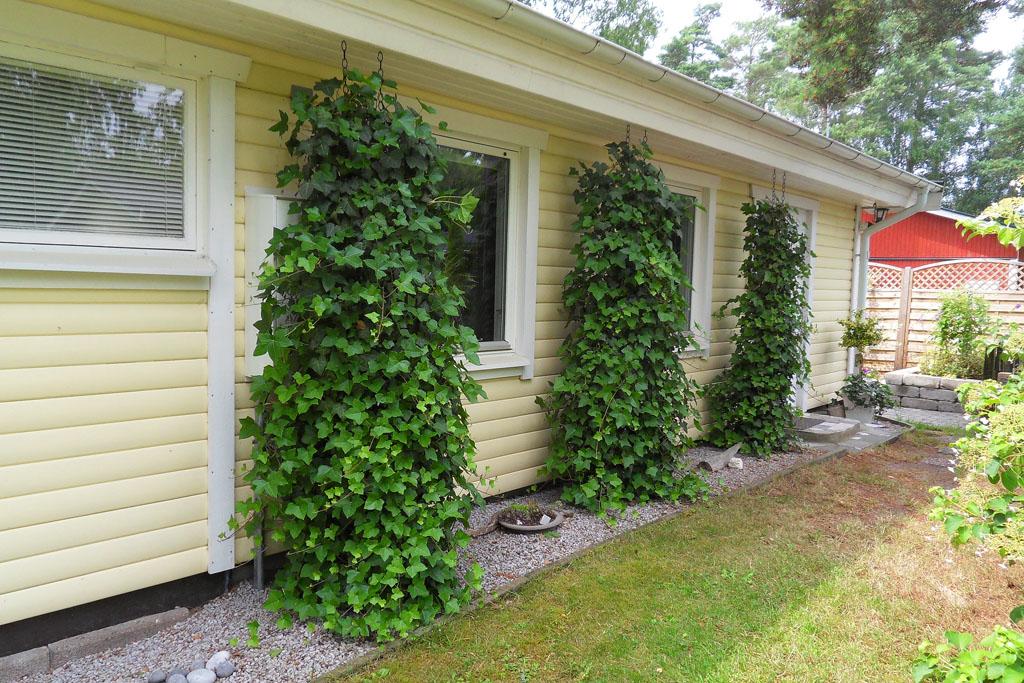 i Trädgården - murgröna ger lummig fasad, grönska, vintergrön