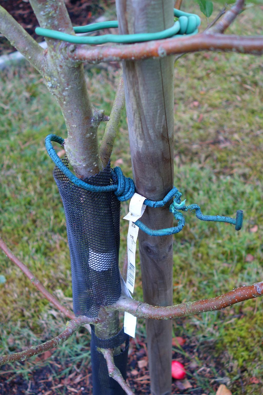 i Trädgården - kontrollera uppbindingen, stötta, fruktträd