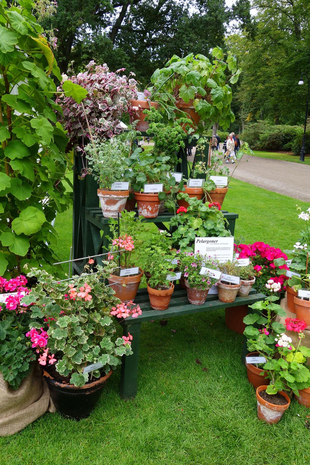 i Trädgården -pelargoner i krukor, olika sorter, ovanliga sorter, utställning
