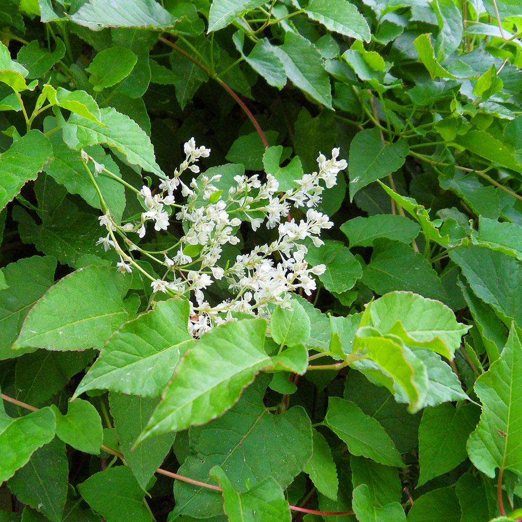 i Trädgården - bokharabinda, snabbväxande klätterväxt, arkitektens tröst, blommor