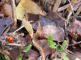 i trädgården - nyckelpiga vaknat tidigt på våren itradgarden.se