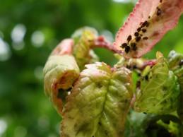 i trädgården- bladlöss, körsbärsträdet, bladen rullar ihop sig itradgarden.se