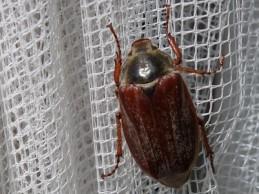 i trädgården - ollonborre, insekt itradgarden.se