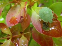 i trädgården - grön sköldbagge, insekt  itradgarden.se
