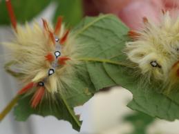 i trädgården - larv, lönnaftonfly, insekt itradgarden.se