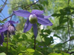 i trädgården -alpklematis, klätterväxt itradgarden.se