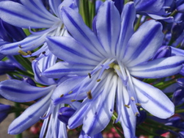 i trädgården - agapanthus, Afrikas blå lilja, kärlekslilja www.itradgarden.se