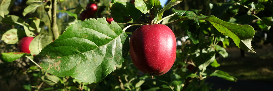i trädgården - rött äpple, äppelträd www.itradgarden.se