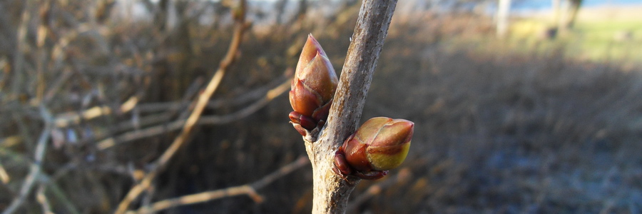 i trädgården - knopp, vinter www.itradgarden.se