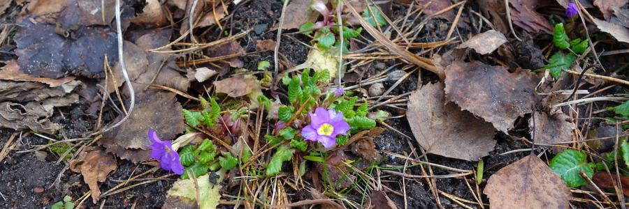 i trädgården - lila viva tidig vår, rabatt www.itradgarden.se