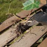 Sticklingar av murgröna