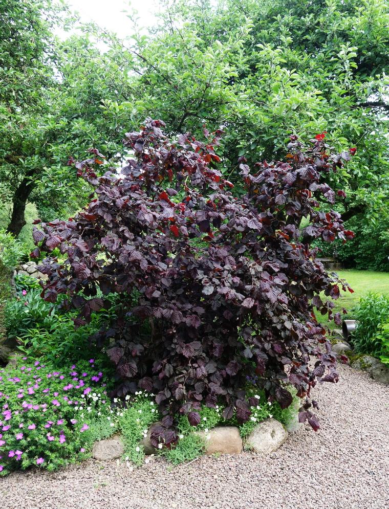 buske röda blad