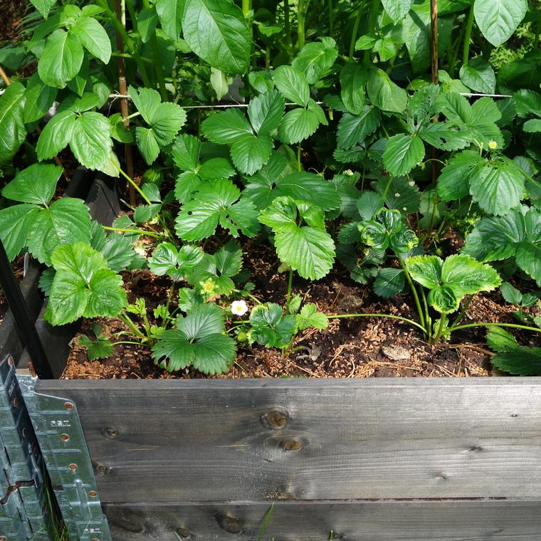 i trädgården - jordgubbar, gödsling, näring, vår www.itradgarden.se