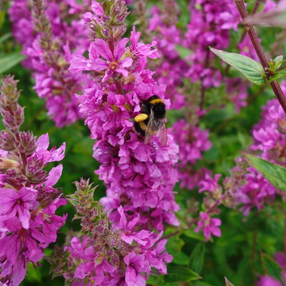 i trädgården - humla på fackelblomster www.itradgarden.se