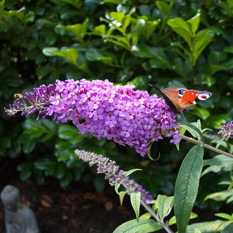 i trädgården - buddleja, fjärilsblomster, buske, rosa blommor, nektar, insekter, bin, humlor www.itradgarden.se