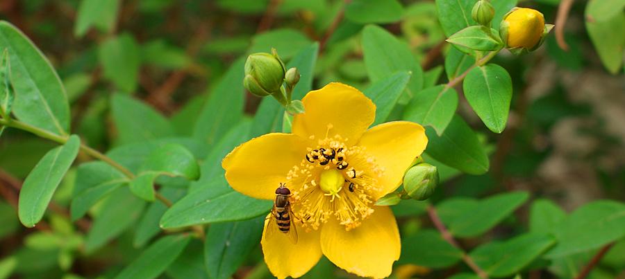 hypericum_blomma_insekter_900x388.jpg