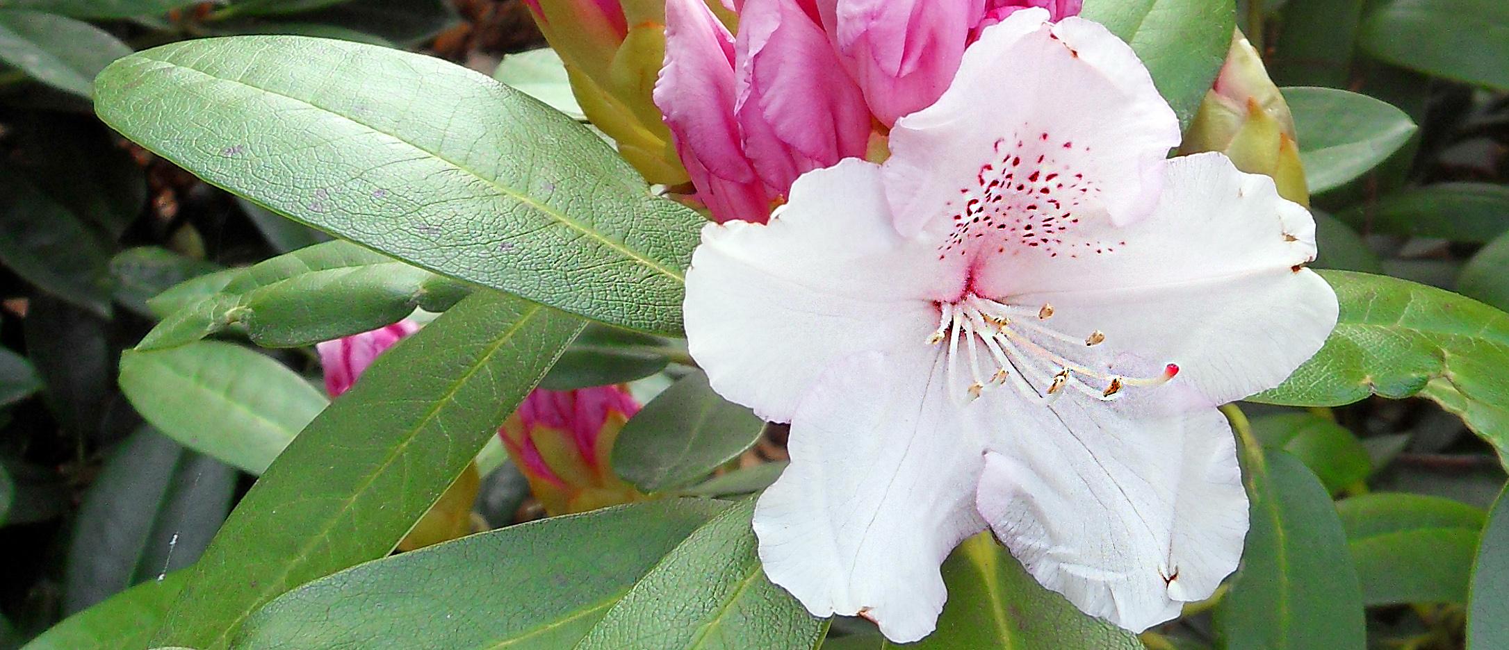 rhododendron_vit_rosa_mitt_900x388.jpg