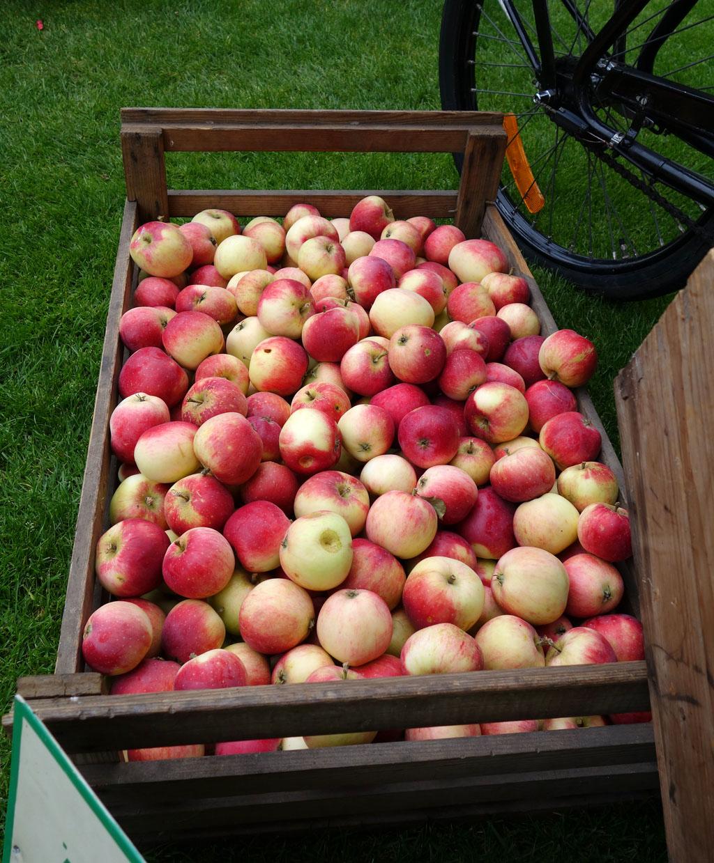 i TRÄDGÅRDEN - förvaring av äpplen efter skörd