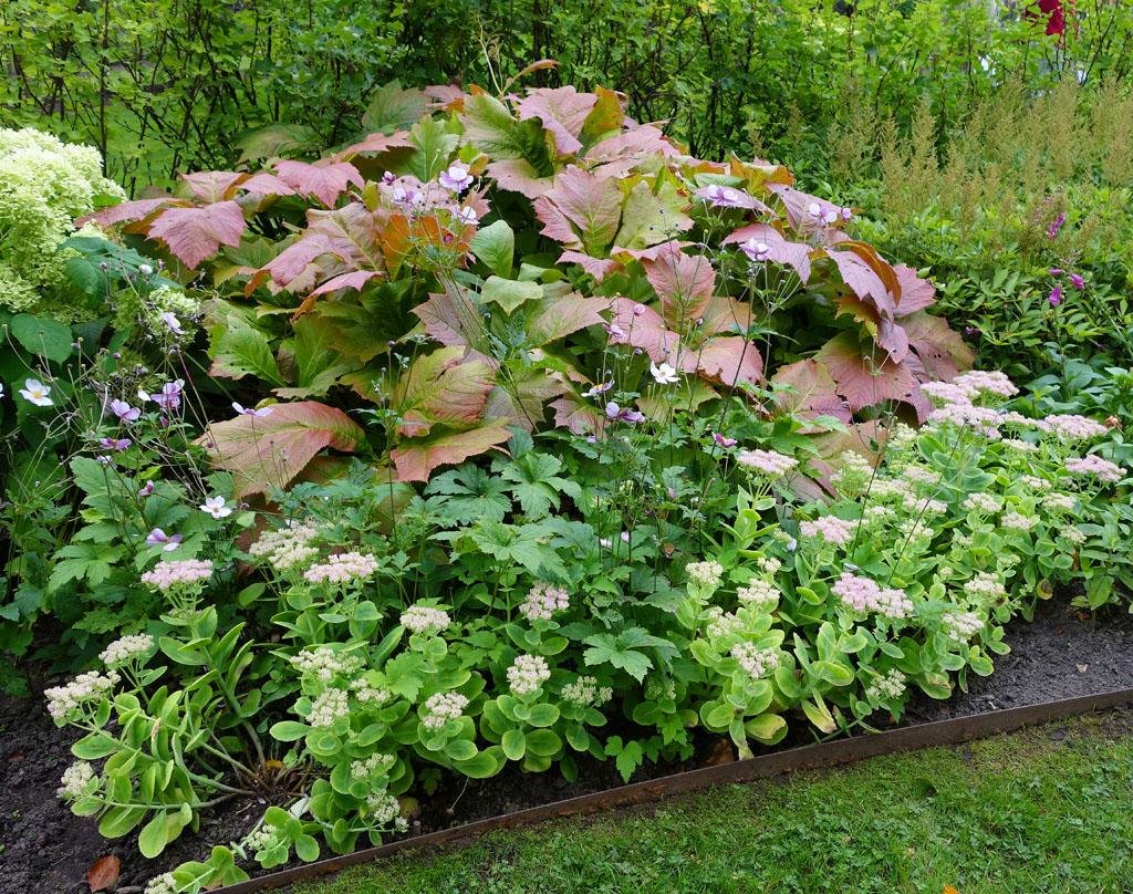 i Trädgården - rodgersia, vacker bladväxt, woodland, perenn