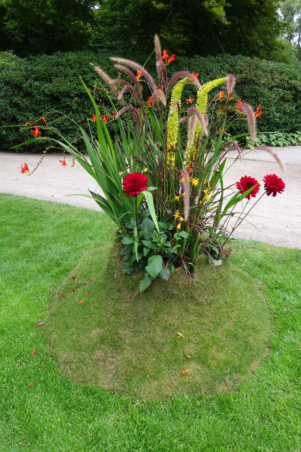 i Trädgården - plantering i gräsmattan, gräs, dahlior