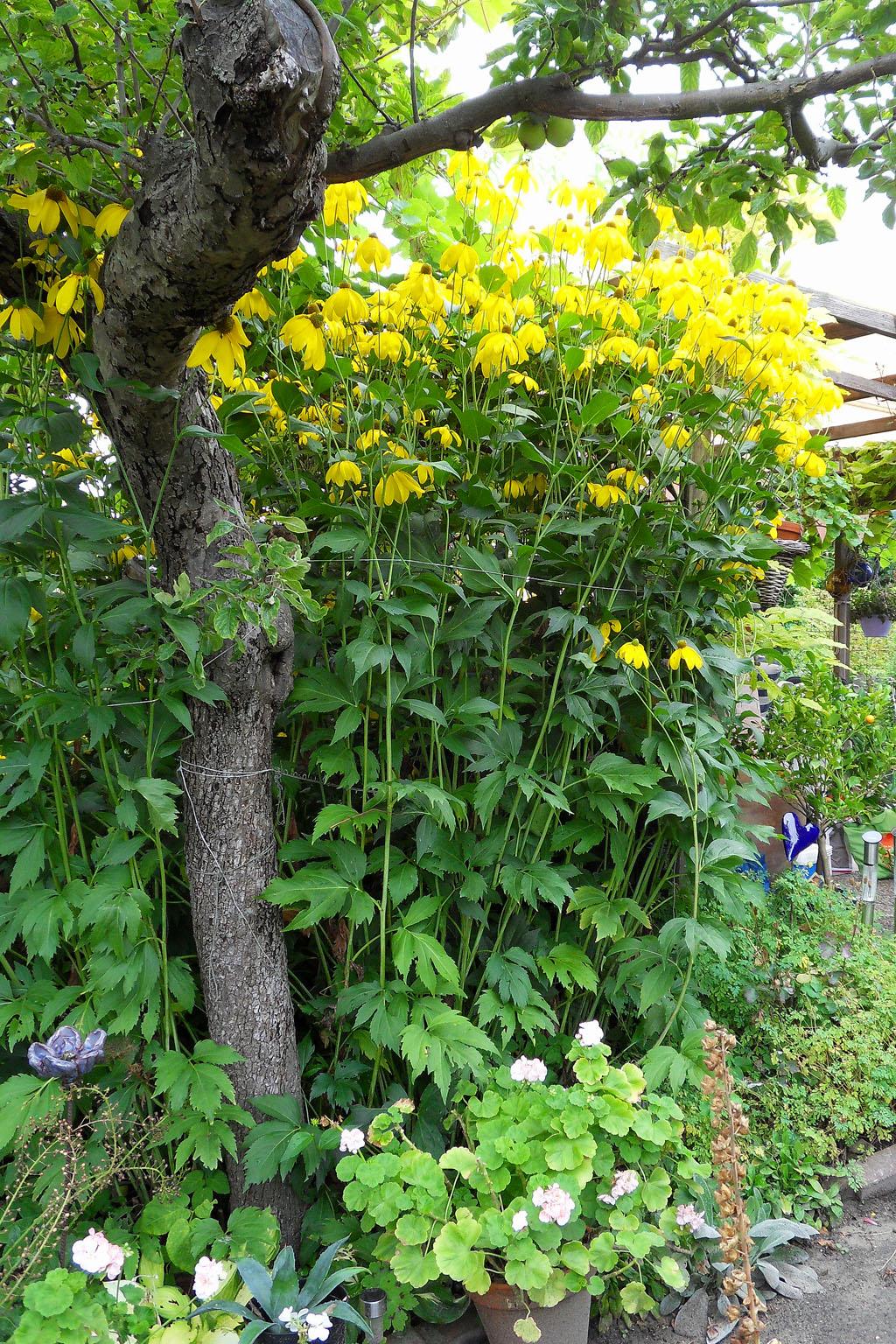 i Trädgården - vacker gammal gul rudbeckia, rabatt, perenn