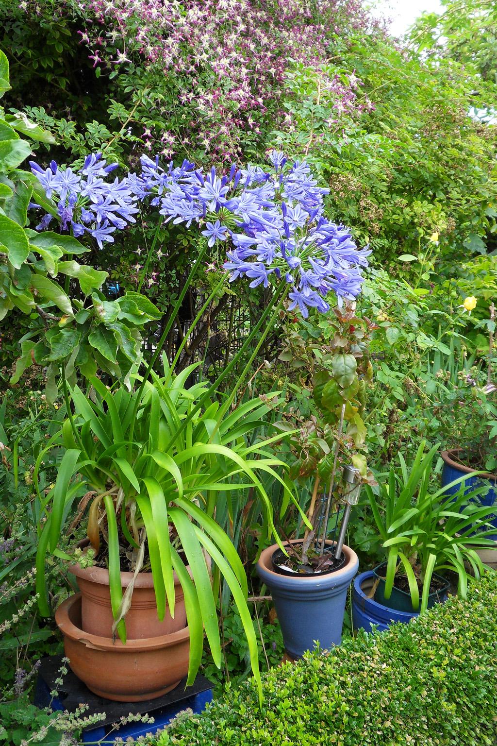 i Trädgården - kruka med afrikas blå lilja, Agapanthus praecox, rabatt, blå, lökväxt