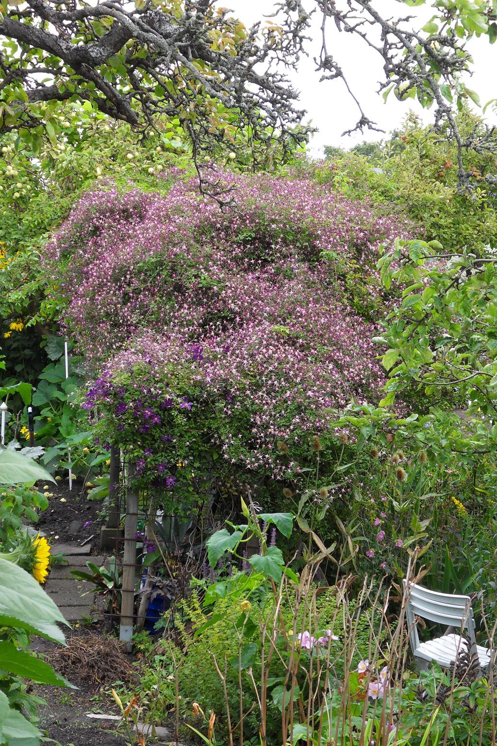 i Trädgården - klematis Clematis × triternata 'Rubromarginata
