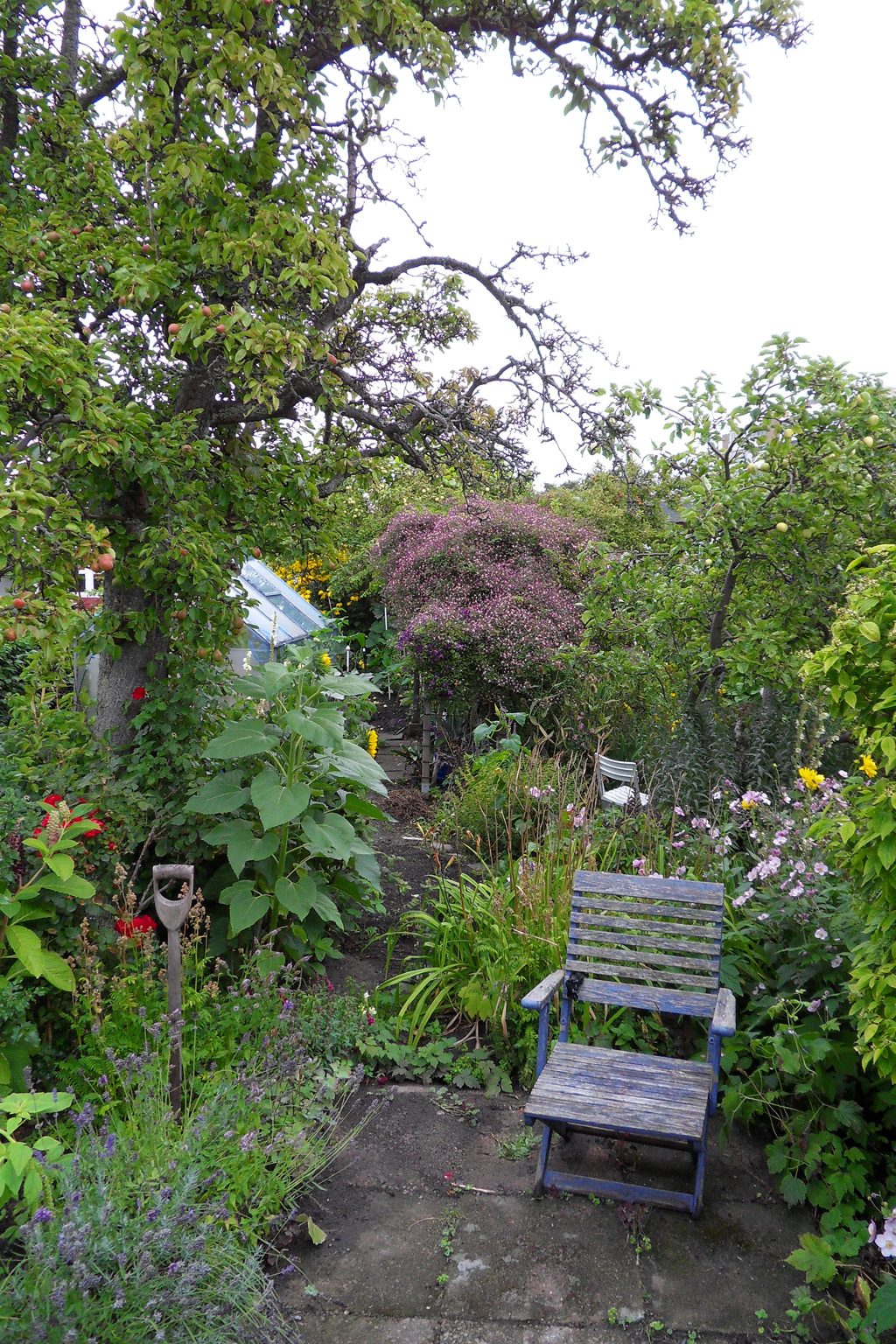 i Trädgården - klematis Clematis × triternata 'Rubromarginata, trädgårdsland