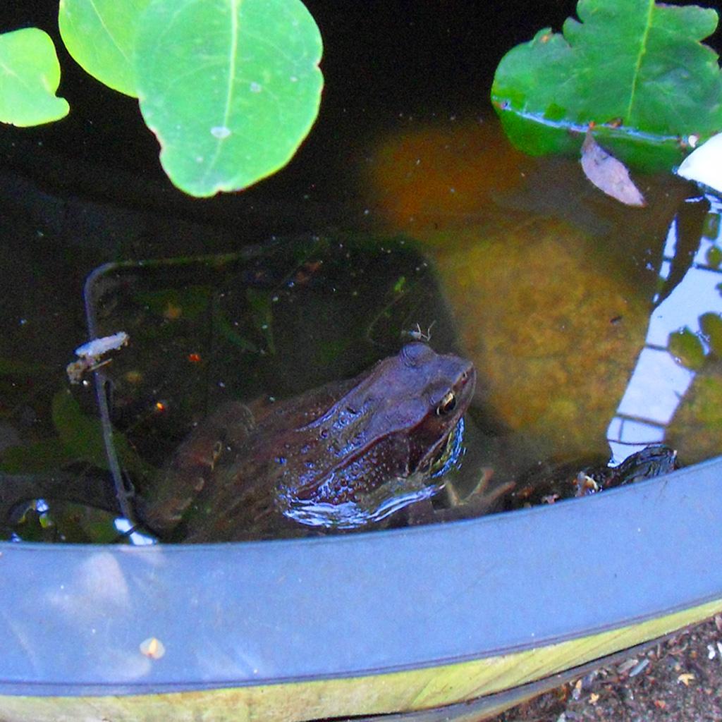 i Trädgården - groda i fontänen, padda, damm, vatten