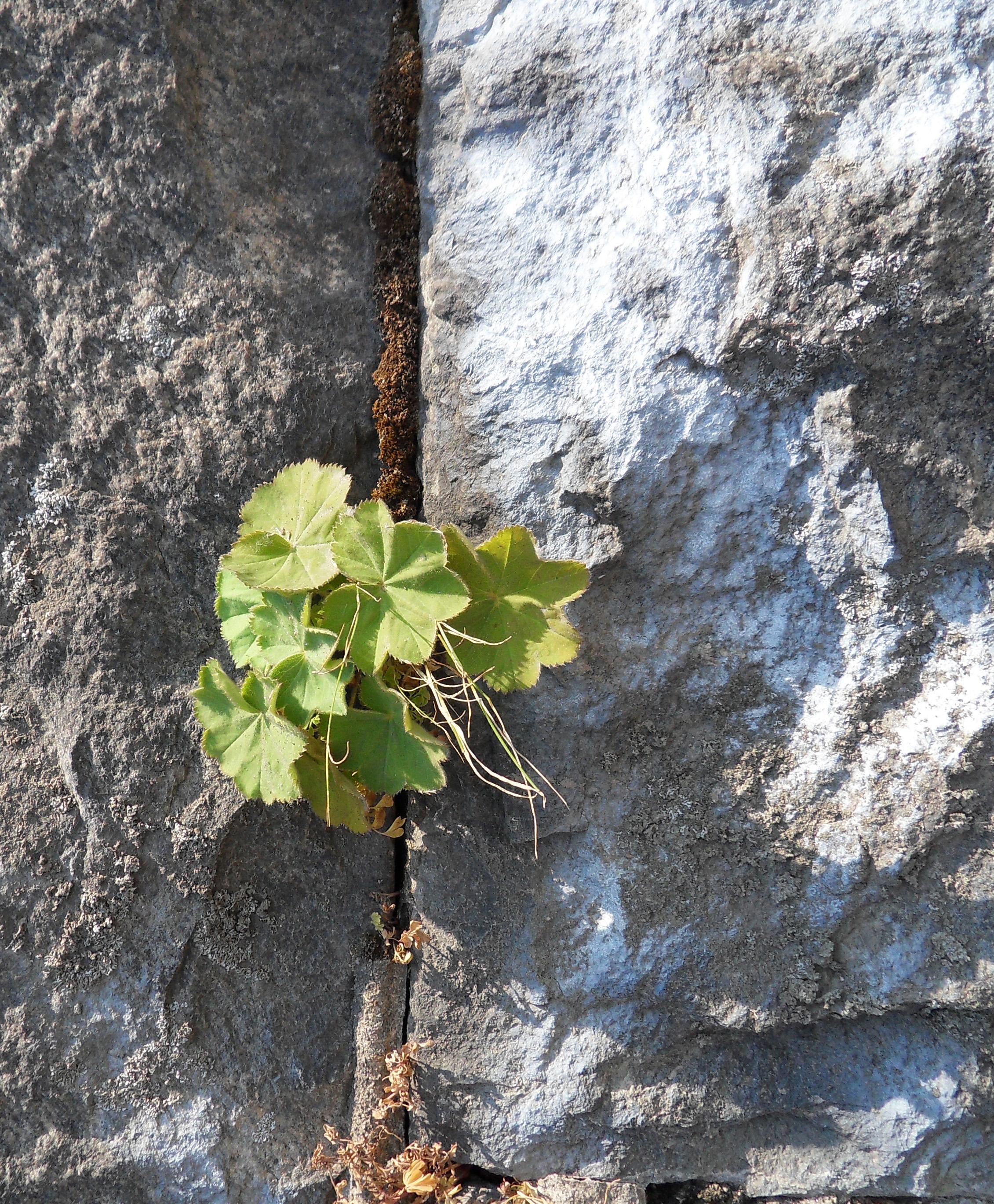 i Trädgården - växter på mur, daggkåpa