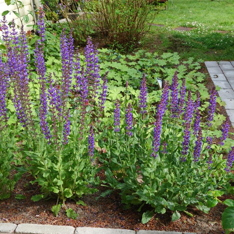 i trädgården - stäppsalvia, lila blommor, nektar, insekter, bin, humlor www.itradgarden.se
